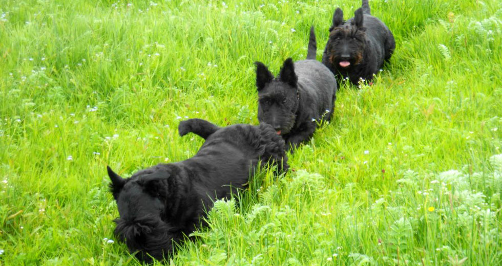 Scottish terrier club ireland