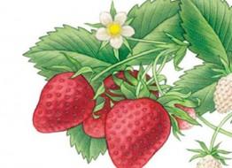 strawberry-fete